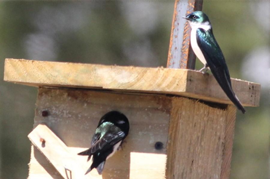 Propagas y la Golondrina Verde