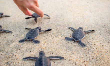 Liberan crías de Tortugas Carey