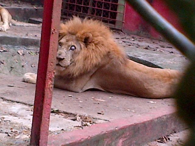 Muere león en traslado de zoo de Moca