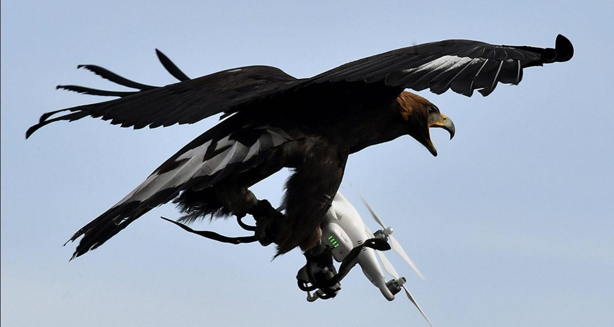 Fuerza Aérea de Francia entrena águilas para cazar drones sospechosos