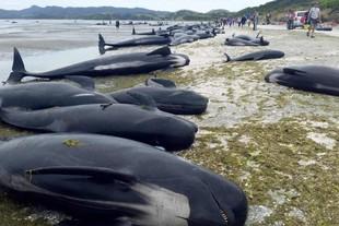 Unas 400 ballenas encalladas en Nueva Zelanda