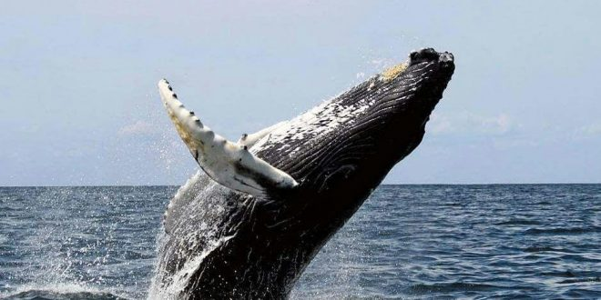 Medio Ambiente llama a la población a visitar las Ballenas Jorobadas