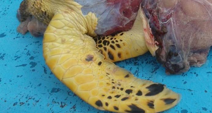 Detienen a cinco personas con carne de tortuga carey