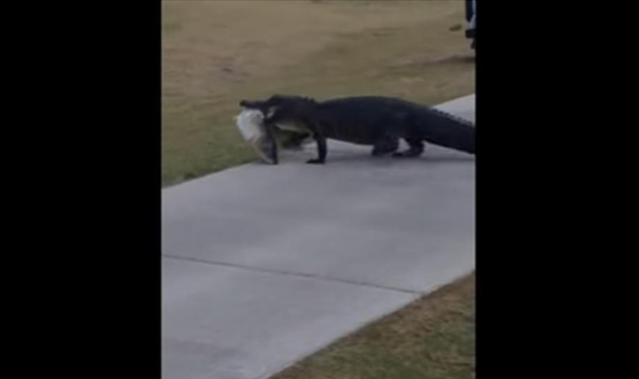 Un cocodrilo es visto con un gran pescado entre sus dientes en un campo de golf de Florida