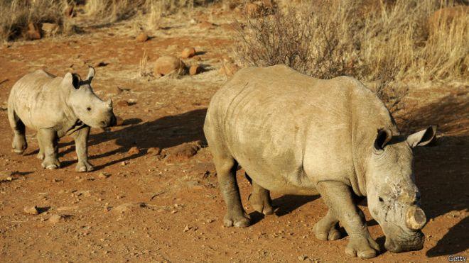 Tailandia incauta 21 cuernos de rinoceronte