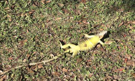 Iguanas congeladas caen de los árboles en la Florida