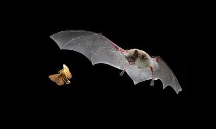 """Murciélagos, """"aliados"""" de los humanos en el control de enfermedades"""