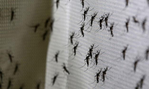 Primer lote de mosquitos autodestructivos